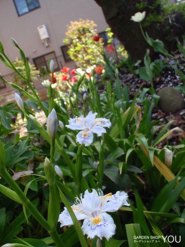 山道を歩いているかのような自然に咲くシャガの花。