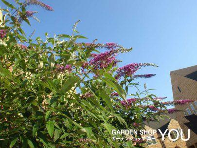 夏にはブッドレアが空に向かって咲き乱れます。