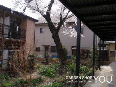 桜の古木が誇らしげに咲く春。