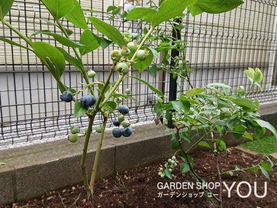 ブルーベリーを植えて。
