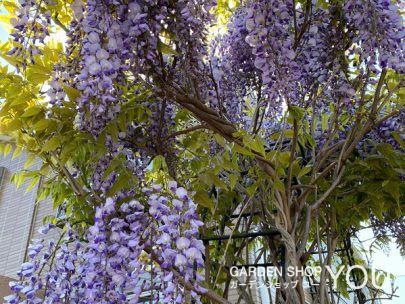 「藤」の花言葉は「優しさ」「歓迎」。