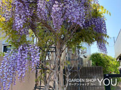 藤は玄関先に植えるのにとてもふさわしい植物かもしれません。