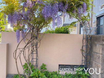 人を迎え入れる度に楽しい玄関先に咲く藤の花。